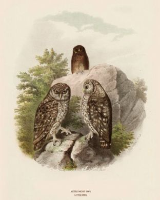 Owl, Little by O V Riesenthal